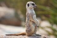 1280px-Meerkat feb 09