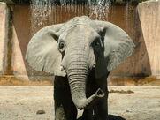African Elephant (Lisbon Zoo)
