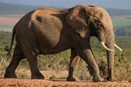 African Elephant With Big Tusks 600