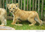 African Lion Cub (V2)