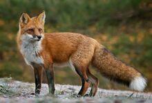 American Red-Fox.jpg