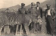Caspian tiger, north iran