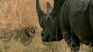 Cheetahs Vs Rhinoceroses