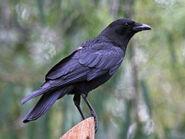 Crow, American