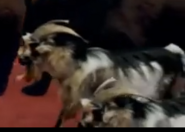 Evan Almighty Goats