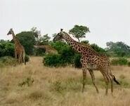HugoSafari - Giraffe10