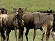 HugoSafari - Wildebeest01