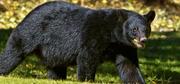 Louisiana Black Bear.png