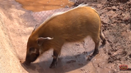 Oklahoma City Zoo River Hog