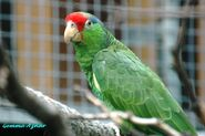 Red-Crowned Amazon