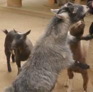 SDZ TV Series Goat