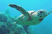 Sea Turtle, Hawksbill