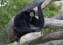 Siamang Miami Zoo.jpg