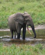 African Forest Elephant (Loxodonta cyclotis)