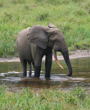 Congo Animals, Inc.
