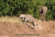 BO-TU-eland-09-0002 large elephant