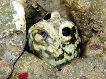 Banded Jawfish