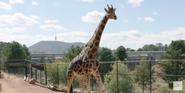Canberra Zoo Giraffe