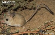Fawn-hopping-mouse