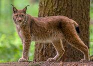 Lynx, Eurasian