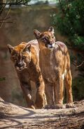 Male and Female Cougars