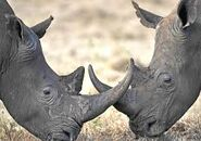 Mating Rhinoceroses