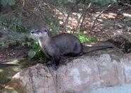 Otter, North American River