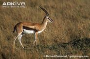 Thomsons-gazelle