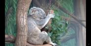 Toledo Zoo Koala