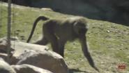 Toronto Zoo Baboon