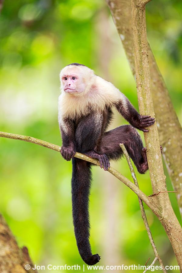 Chimney the Capuchin Monkey