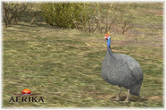 Afrika ps3 helmeted guineafowl by scottslive21-dbdz3t5