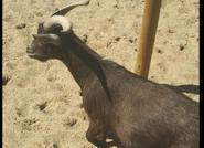 Akron Zoo Goat