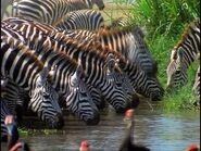 BEBN Mountain zebra