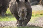 Brevard Zoo Rhinoceros