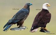 Golden Eagle and Bald Eagle