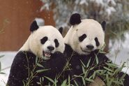 Male and Female Giant Pandas