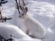 Snowshoe-Hare-Photos