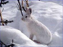 Snowshoe-Hare-Photos.jpg