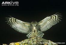 Spotted-eagle-owl-landing.jpg
