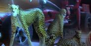 Turbo Cheetahs