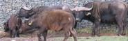 WMSP Buffalos