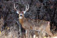 White-Tailed Deer (Buck) (V2)