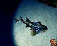 A bowmouth guitarfish