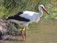 African white stork