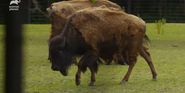Bronyx Zoo TV Series Bison