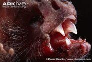 Common-vampire-bat