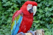 Macaw, Red and Green