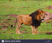 Male Masai Lion