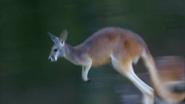 Pittsburgh Zoo Kangaroo (V2)